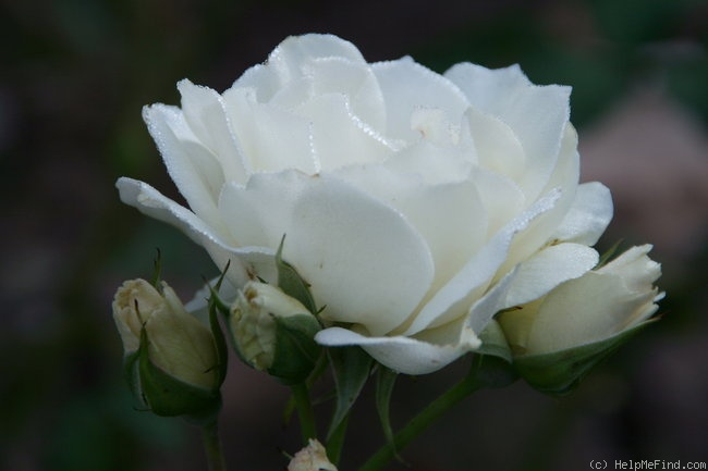 'Edelweiss ® (floribunda, Poulsen, 1969)' rose photo