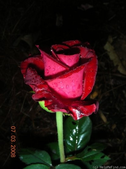 'Vino Rosso' rose photo