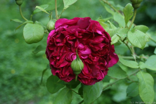 'The Dark Lady' rose photo