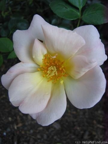 'City Girl (Large Flowered Climber, Harkness, 1985)' rose photo