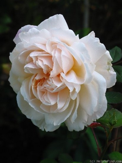 'Gruss an Aachen (Hybrid Tea, Hinner, 1909)' rose photo
