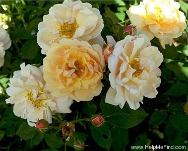 'Goldbusch' rose photo