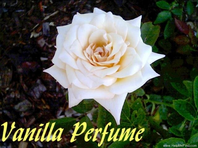 'Vanilla Perfume' rose photo