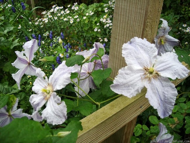 'Blue Angel' clematis photo