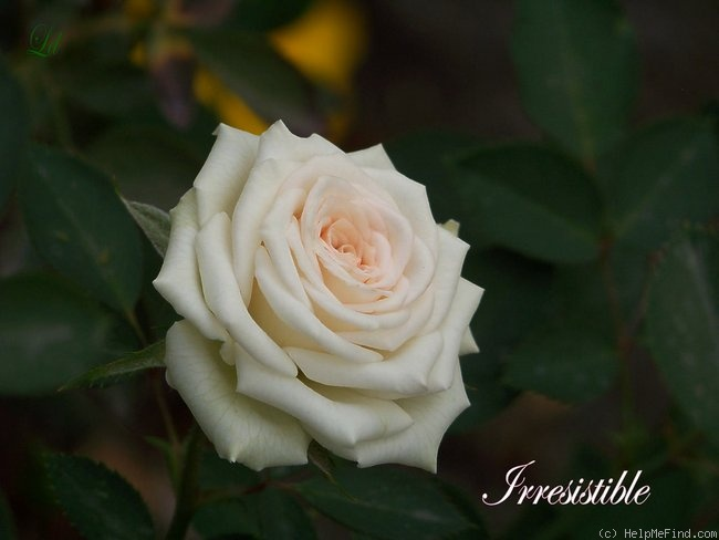 'Irresistible (Miniature, Bennett, 1989)' rose photo