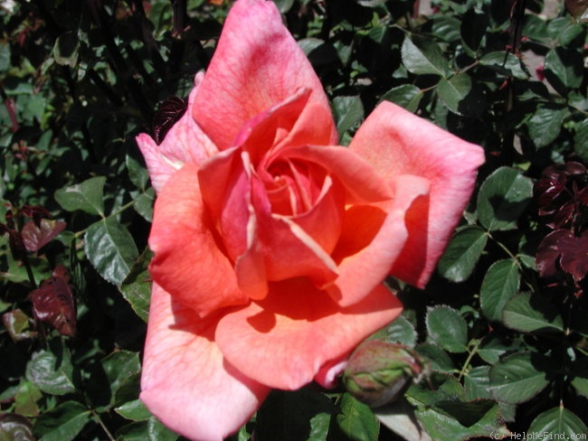 'Wild Ginger' rose photo