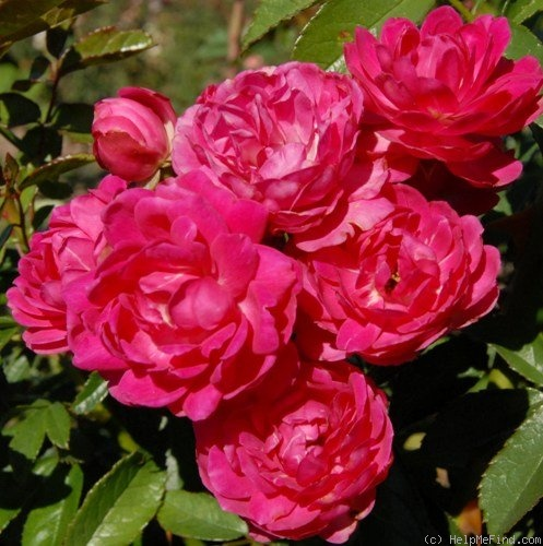 'Willy den Ouden' rose photo