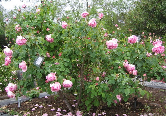 'Madame Caroline Testout (Hybrid Tea, Pernet-Ducher, 1890)' rose photo