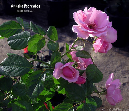 'Anneke Doorenbos (Floribunda, Doorenbos,1956)' rose photo