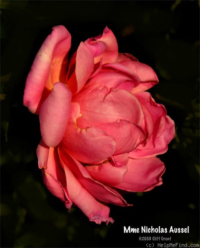'Madame Nicholas Aussel' rose photo