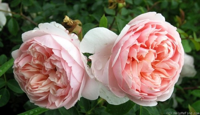 'Wildeve' rose photo