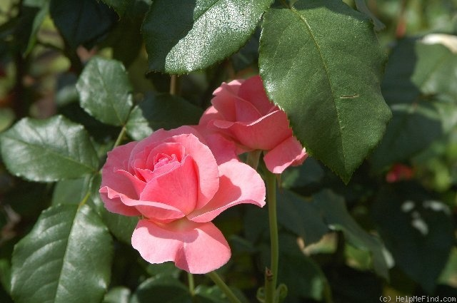 'Desirée ® (hybrid tea, Evers/Tantau, 1985)' rose photo