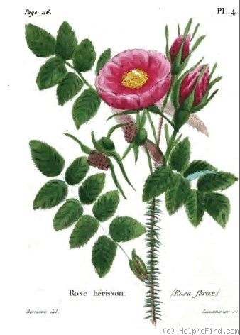 '<i>Rosa ferox</i> Lindl. synonym' rose photo