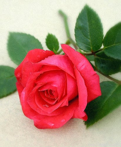 'Just For You (miniature, Moore, 1990)' rose photo