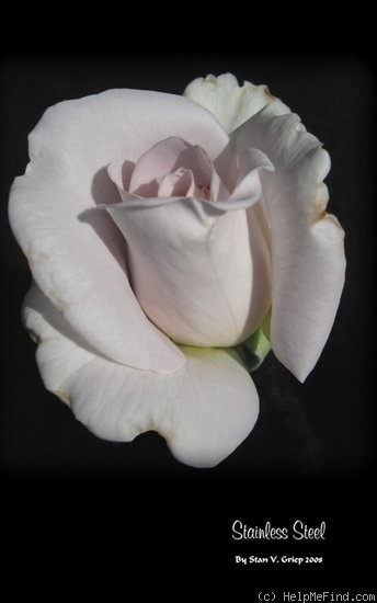 'Stainless Steel ™' rose photo