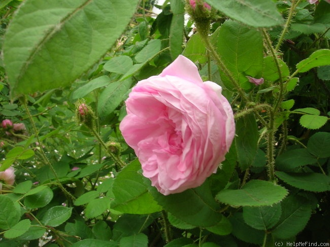 'Old Pink Moss' rose photo