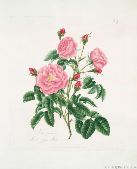 'Royal Virgin Rose (gallica)' rose photo
