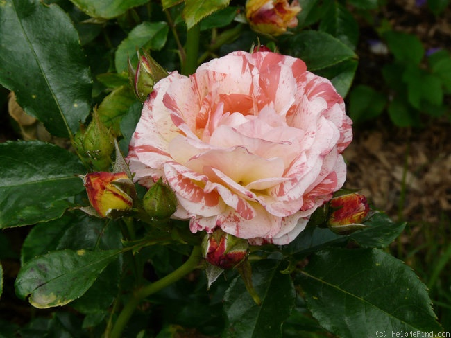 'Alfred Sisley ™' rose photo