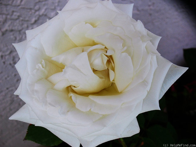 'Pope John Paul II ™ (Hybrid Tea, Zary, 2006)' rose photo