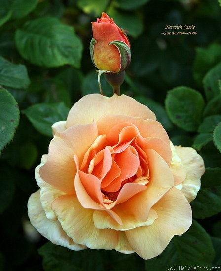 'Norwich Castle' rose photo