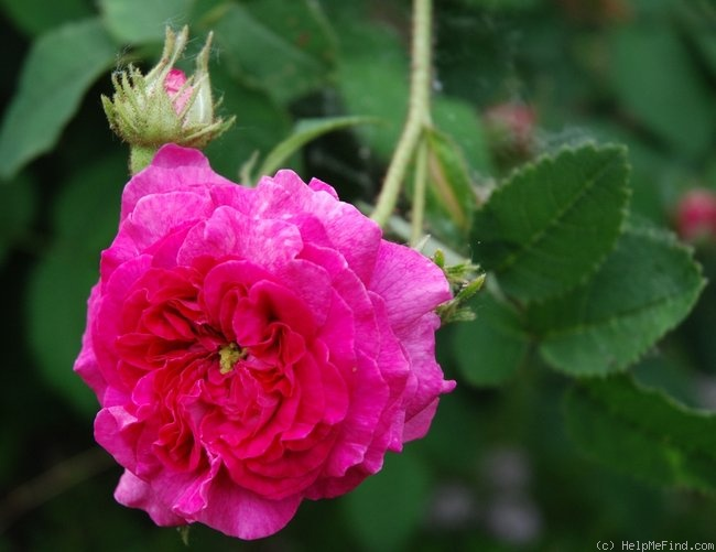 'Belle de Crécy (Gallica, Roeser, 1829)' rose photo