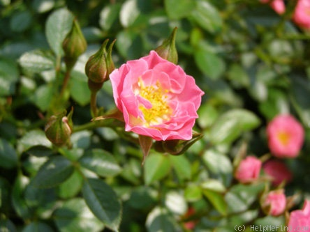 'Dick's Delight ™' rose photo