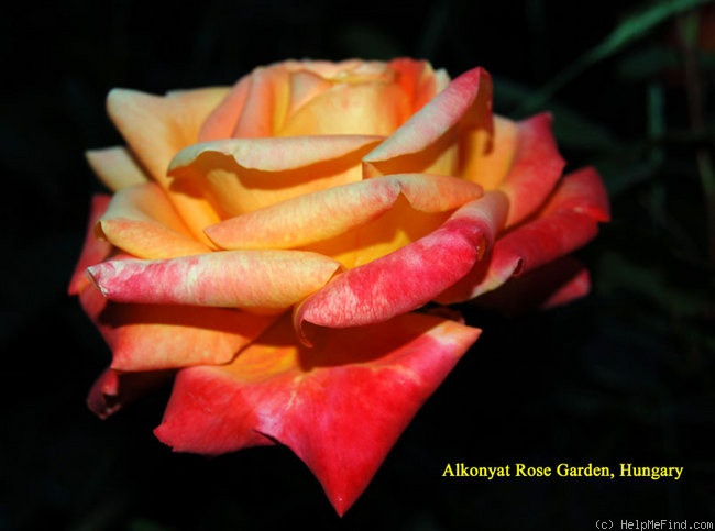 'Barry Stephens' rose photo
