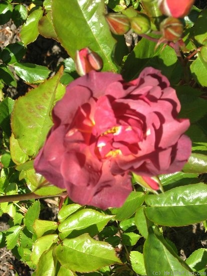 'Cinco de Mayo™ (Floribunda, Carruth, 2006)' rose photo