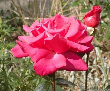 'Aïda (hybrid tea, Mansuino, 1956)' rose photo