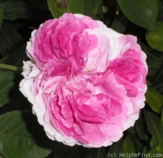 'Gilda (hybrid multiflora, Geschwind,1887)' rose photo