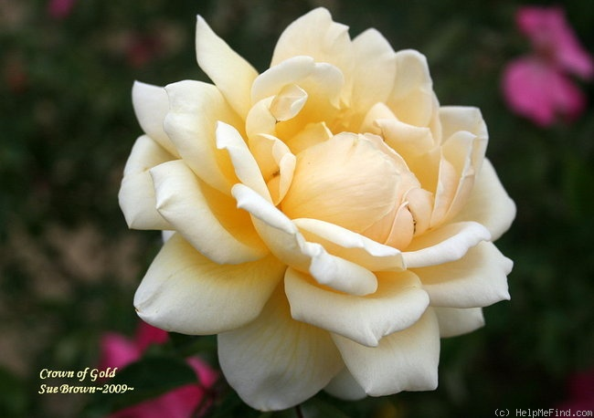 'Crown of Gold' rose photo