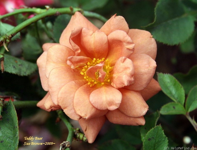 'Teddy Bear ™' rose photo