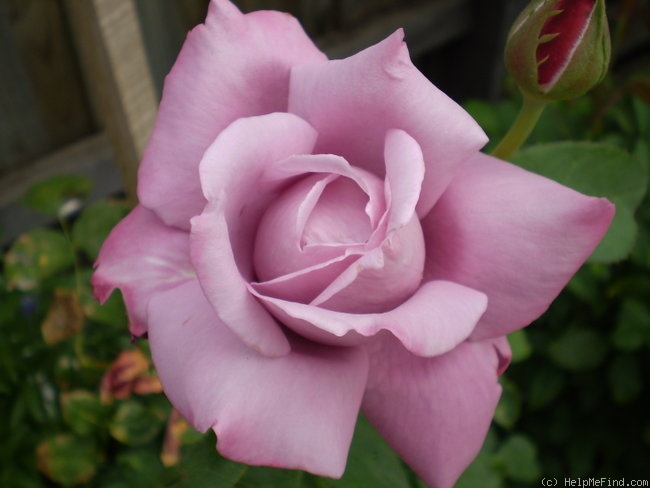 'Charles de Gaulle ®' rose photo