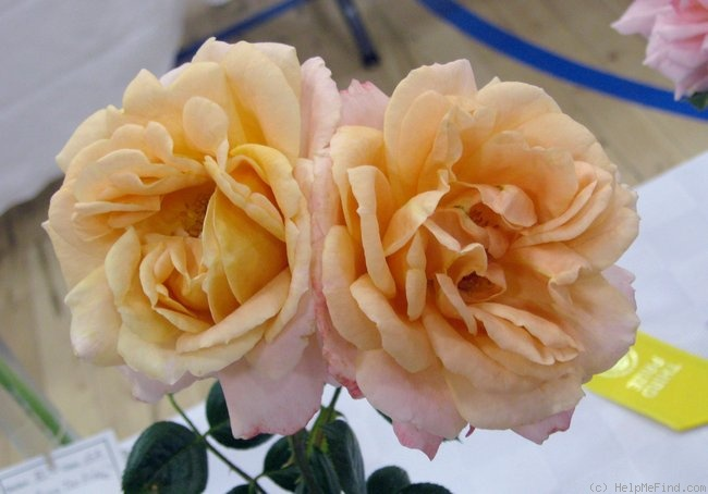 'Lady of the Mist' rose photo