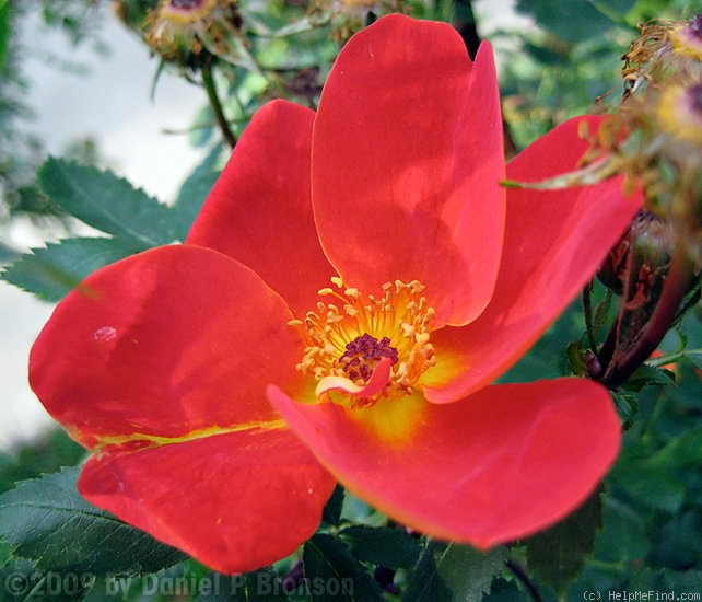 'Austrian Copper' rose photo