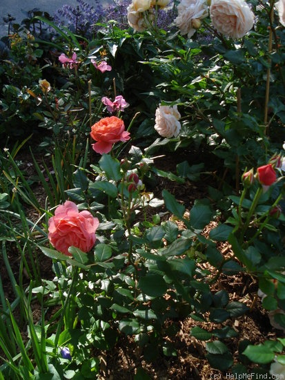 'Summer Song (shrub, Austin, 2005)' rose photo