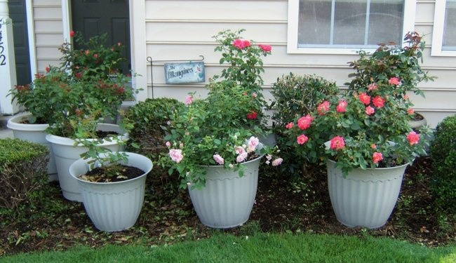 'Rosesnpots - (elizabeth m)'  photo