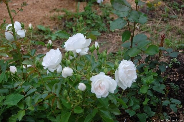 'Dominique Loiseau ™' rose photo