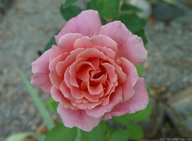 'Apricot Queen (hybrid tea, Howard, 1940)' rose photo