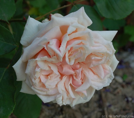 'Gloire de Dijon (Tea Noisette, Jacotot 1850)' rose photo