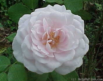 'Coquette des Blanches' rose photo