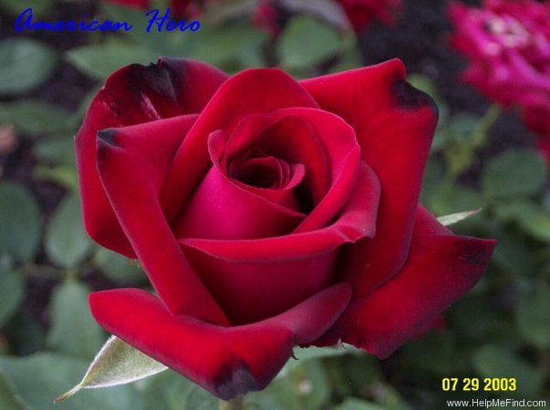 'American Hero ™' rose photo
