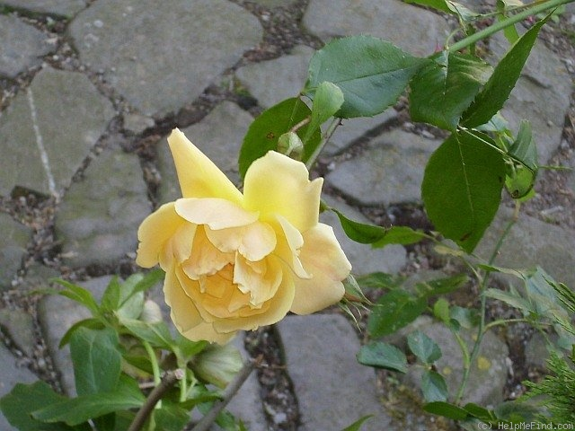 'Doubloons' rose photo