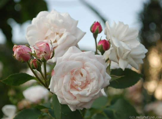 'Mademoiselle Blanche Lafitte (Bourbon, Pradel, 1851)' rose photo