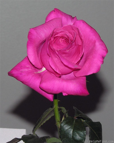 'Elizabeth Taylor' rose photo
