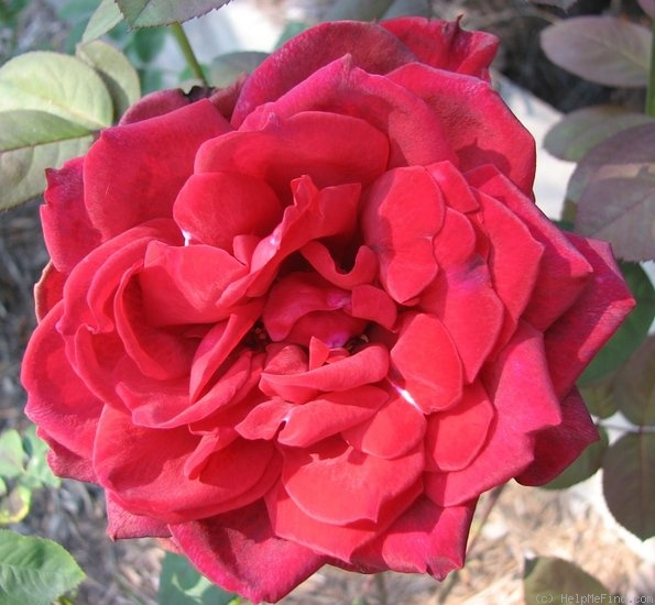 'Red Masterpiece (Hybrid Tea, Warriner, 1974)' rose photo