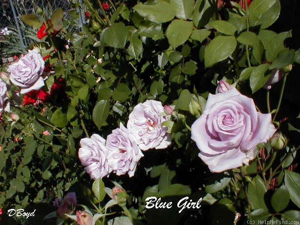 'Blue Girl (hybrid tea, Kordes, 1964)' rose photo