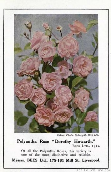 'Dorothy Howarth' rose photo