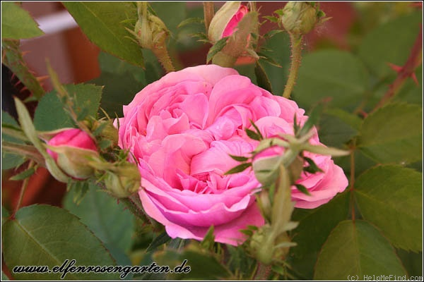 'Sidonie (damask perpetual, Vibert, 1845)' rose photo