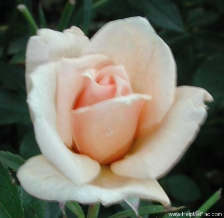 'Loving Touch ™' rose photo
